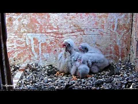 American Kestrel Chick Swallows Entire Snake – June 27, 2018