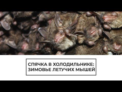 Спячка в холодильнике: зимовье летучих мышей