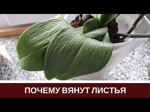 , title : '🌸Почему Вянут Листья Орхидеи Пропадает Тургор Листьев Фаленопсиса