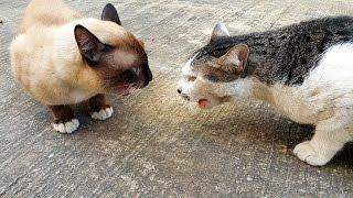 แมวพันธุ์วิเชียรมาศ คุยอะไรกับแมวหง่าว หาดูยาก เสียงร้องดังมาก sound modern siamese Cat voice.
