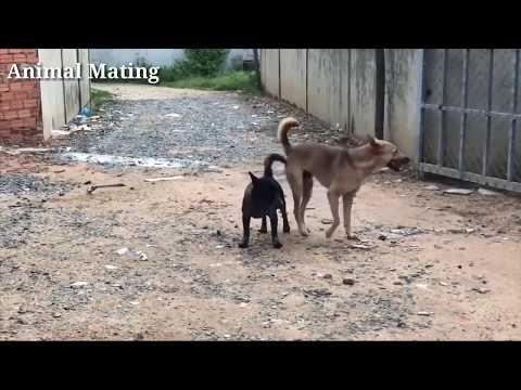 Village desi dog  hard mating   dog mating in village   dog mating first time