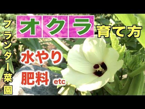 , title : 'オクラの育て方【プランター】6/26〜8/16【たくさん収穫するコツ】