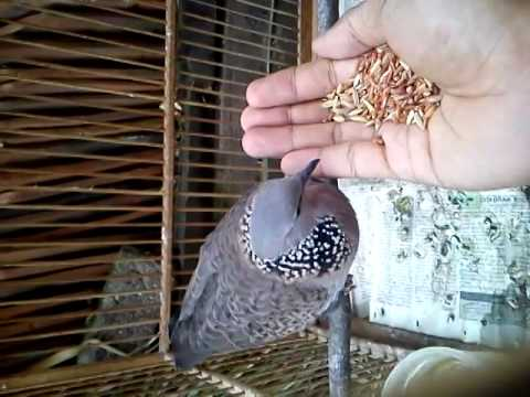 Video Burung tekukur