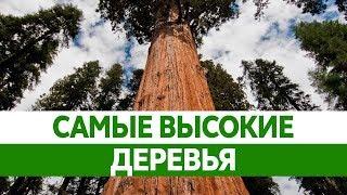 Самое ВЫСОКОЕ ДЕРЕВО в мире. Самое большое и старое дерево на Земле.