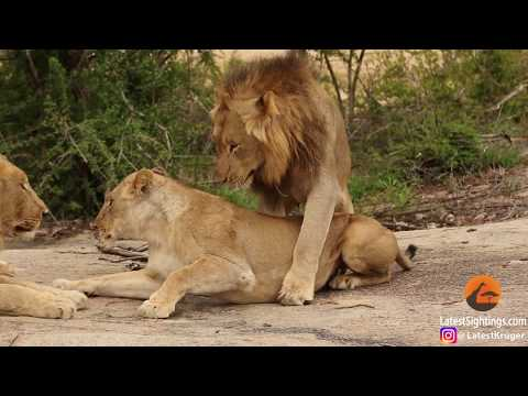 Awkward! Three male lions take turns mating with lioness