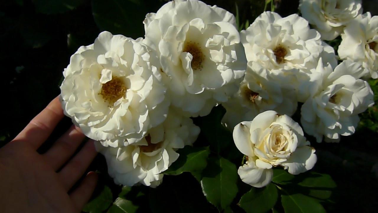 Цветение Шнеевальцер