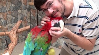 Santina Green-Winged Macaw - Super Cuddly Rescue Parrot