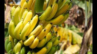 How To Grow Bananas In Containers - Complete Growing Guide