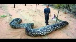 Biggest Snakes in the World! SnakeBytesTV