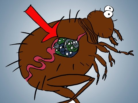Video How Bubonic Plague Works