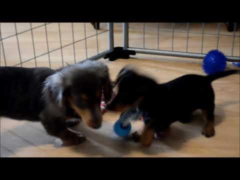 Ace Akc Male Black Tan SH Miniature Dachshund Puppy for sale!