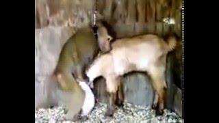 Любовь мартышки и овечки