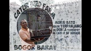 Bird Farm - Burung Murai Batu Ekor Terpanjang Di Dunia Terdapat Di Catur BF