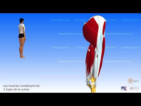Le squelette et les muscles naccomplissent pas la fonction protecteur