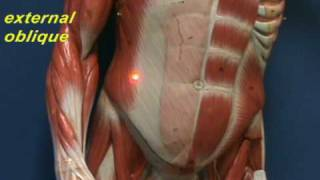 Abdominal Wall - Muscles