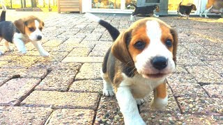 Cute Beagle Puppies Playing Outside For The First Time! Beagle Puppy Marie