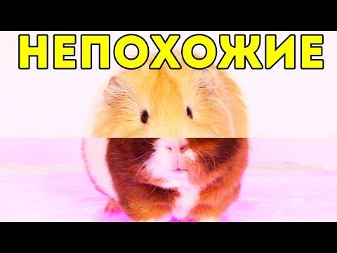 ПАРОДИЯ: Quest Pistols Show - Непохожие / SvinkiShow