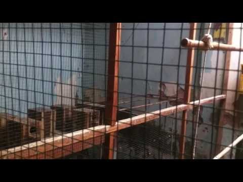 Video Cara ternak love bird koloni yang benar