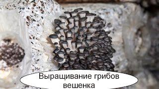 Выращивание грибов вешенка. Бизнес идея в гараже или подвале.