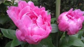 2009芍薬の花.wmv