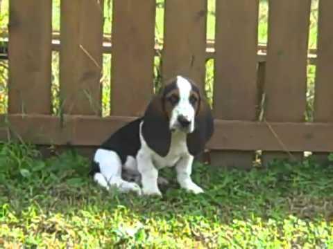 Basset Hound Male Puppy #2