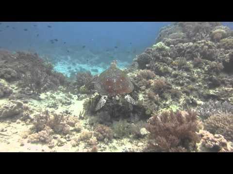 Schilkröten, Coco White Beach,Philippinen