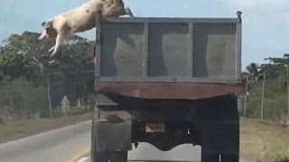 Svinja iskace iz kamiona na putu za klanicu