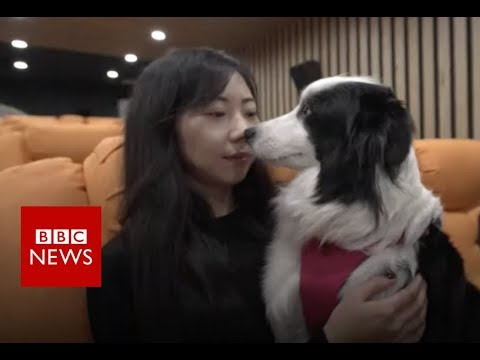 Pampered pooches: China's luxury hotel for dogs - BBC News