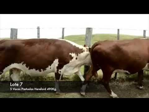 Lote 5 Vaquillonas Vacas Preñadas Hereford 490kg -  en Establecimiento las Delicias - Paraje la Bolsa, ruta 30 km 176. entra al sur 8 km.