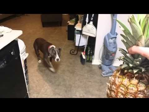 Pit Bull is afraid of Pineapples