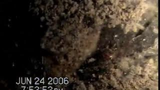 Ants  Amazon and Orange ants
