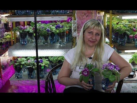 Домашний цветочный бизнес изнутри. Посадка листов глоксиний быстро, много, лайфхаки