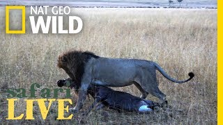 Why Is This Lion Dragging Around Its Breakfast? | Nat Geo Wild