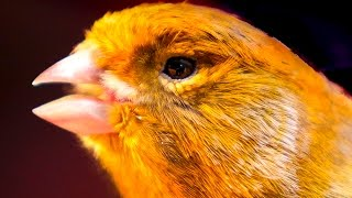 Canary singing - Most spectacular 4K video training
