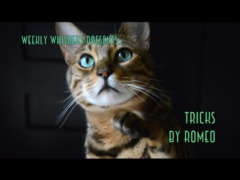 Amazing Cat Tricks by Romeo