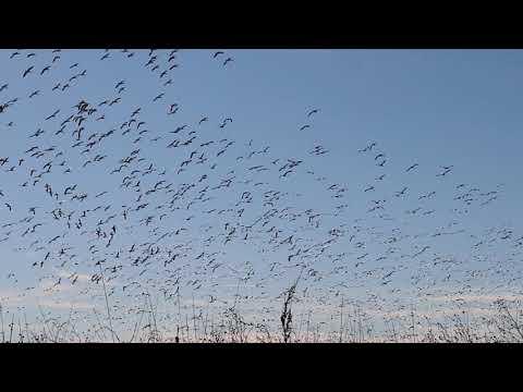 pheasant-hunt-turned-snow-goose-hunt--epic-goose-sneak