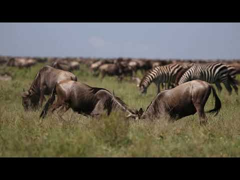 Wildebeest Migration calving at Serengeti Tanzania.