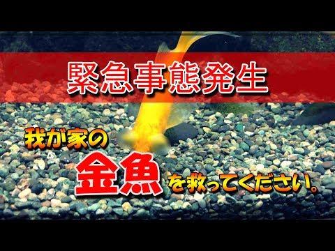【金魚】コメットが出目ットになりました…。泣