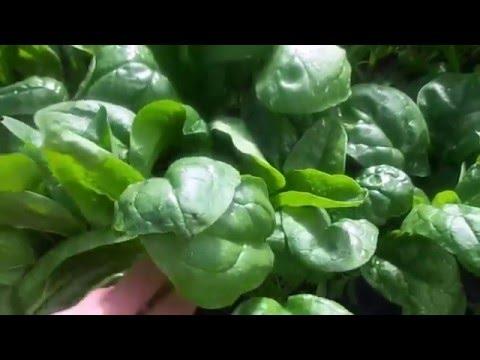 Как правильно посеять шпинат  Сроки сева шпината.