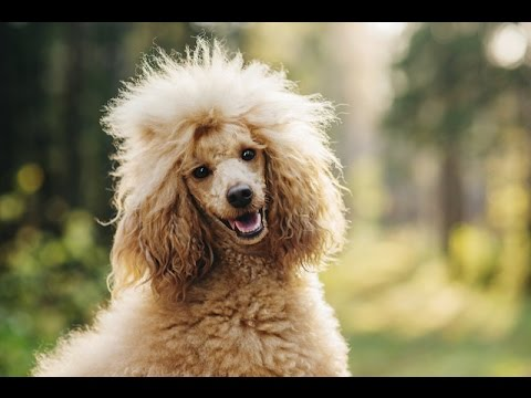 POODLE BARKING - POODLE HOWLING AND BARKING COMPILATION 2016