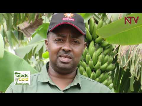 , title : 'SEEDS OF GOLD: How to invest wealth from growing bananas