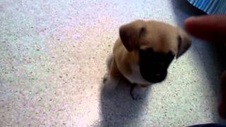 Training one month old puppy hoe to sit