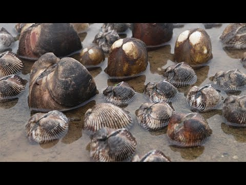 大風後小妹無人島趕海遇怪事,成群的毛蛤被打出來,個個都有拳頭大【海村小梅】