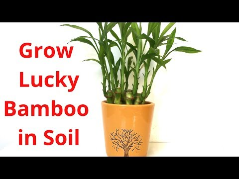 How to Grow Lucky Bamboo in Soil || Backyard Gardening