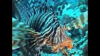 Lionfish of Aqaba