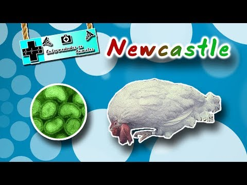 , title : 'Enfermedad de Newcastle : El paramixovirus de las aves - medicina veterinaria