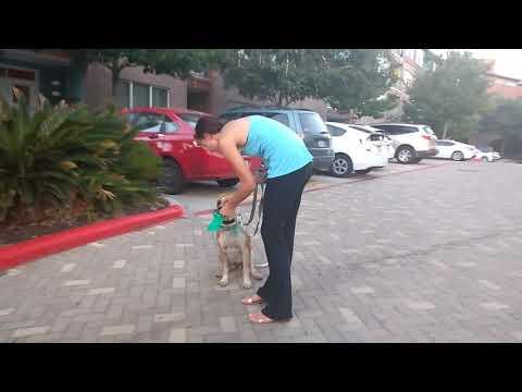 Training a dog to Heel.  Molly Jane.