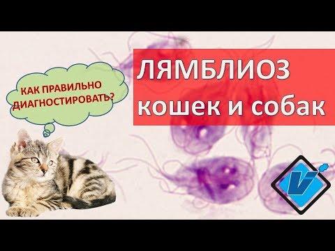 Диагностика лямблий (гиардий) у домашних животных