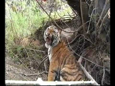Tiger Cub Gets Saved From Poachers Trap Mp3