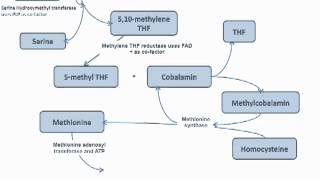 Methyl Trap Of Homocysteine Cycle - Folate And B12